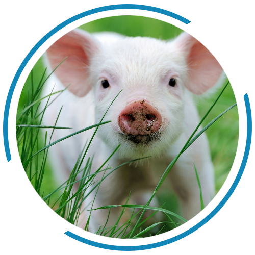 asa-products-piglet-swine-feed-johannesburg-south-africa-company-hotlink.png
